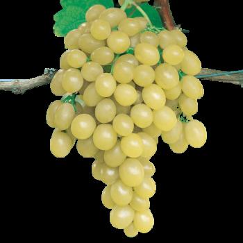 Raisin blanc italia - Italie